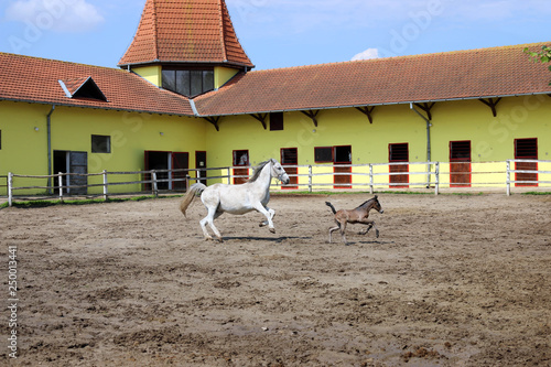 Fotografía  Lipizzaner horse and young foal running in corral