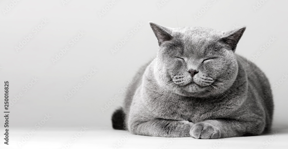 Fototapety, obrazy: Sleepy smiling cat laying on the floor.
