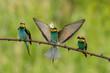 Europäischer Bienenfresser- Merops apiaster