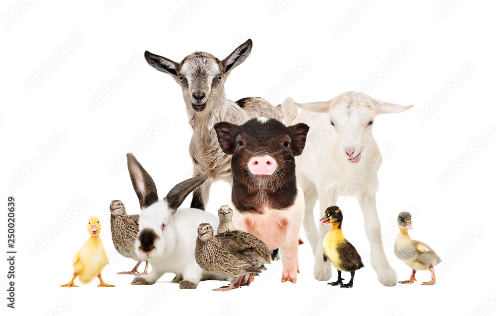 Fototapety, obrazy: Cute farm animals together isolated on white background