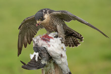 A Peregrine Falcon Forms A Mantle Over As It Feeds On Its Prey Of A Pigeon