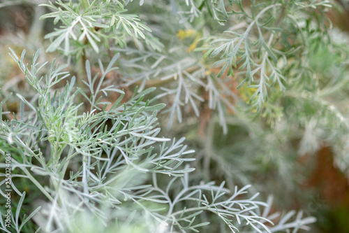 A macro shot of the Wormwood (Artemisia absinthium) herbs grown at greenhouse Wallpaper Mural
