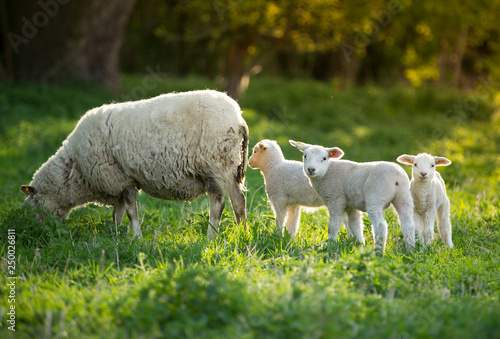 Photo cute little lambs with sheep on fresh green meadow during sunrise