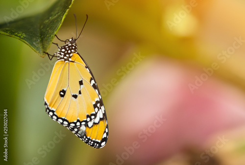 Fotografie, Obraz  Beautiful Plain Tiger butterfly (Danaus chrysippus) perching on flower