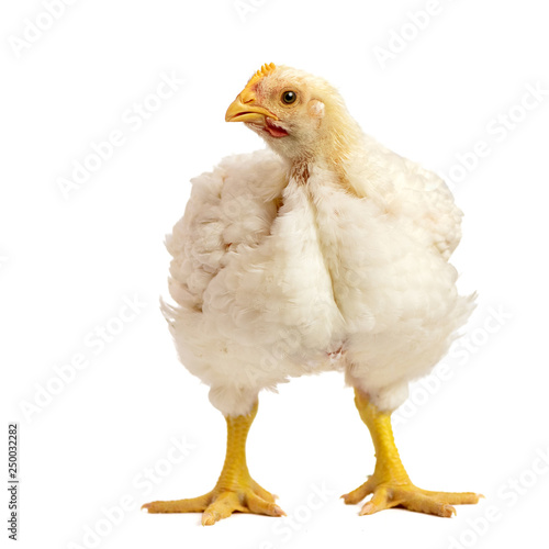 Poster Kip Broiler chicken 21 days old isolated on white