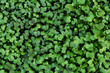 Natural green leaf wall, Texture background