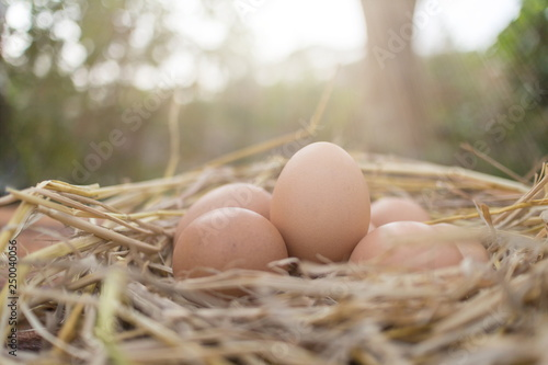 Fresh brown eggs in a nest on a wooden in chicken farm with morning sunlight, image with copy space.