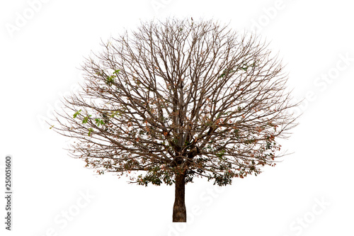 Fotografía  Deciduous tree isolated on white background.