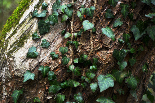Fotografie, Obraz  Beautiful, green wild ivy on tree bark in the forest