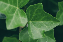 Fresh Ivy Leaves Close Up In T...