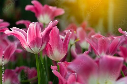 Spoed Fotobehang Roze Pink tulips flower blooming blossom with sunshine morning in the botanic garden.
