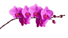 Orchids Flowers On Banch Isolated On White.