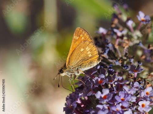 Fotografiet  Ochlodes sylvanus - Gros plan sur le petit papillon la sylvaine vu du revers des