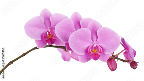 Fotografie, Obraz Orchids flowers on banch isolated.