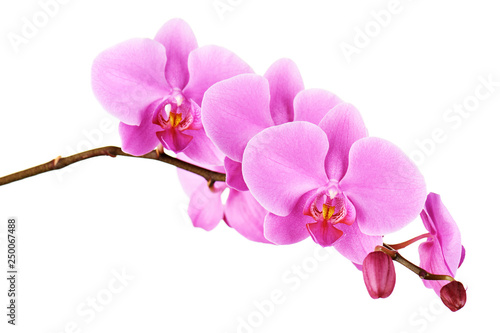 Photo Orchids flowers on banch isolated.