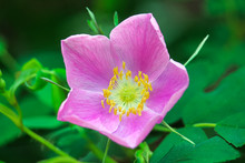 Closeup Of A Pink Wild Rose In Bloom