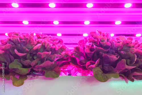 canvas print motiv - DutchScenery : LED lighting used to grow lettuce inside a warehouse