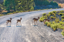 Fallow Deer (Dama Dama) Crossing Road Near Gadoura Dam (Rhodes, Greece)