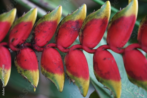 Fototapety, obrazy: Closeup of heliconia rostrata - false birds of paradise growing in the jungle naturally near Dumaguete, Philippines