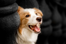 Emotion Photo Down Red Border Collie With Columns