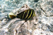 Pazifischer Segelflossen-Doktorfisch