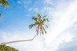 Tilted long tropical coconut palm tree with a blue sky on the background