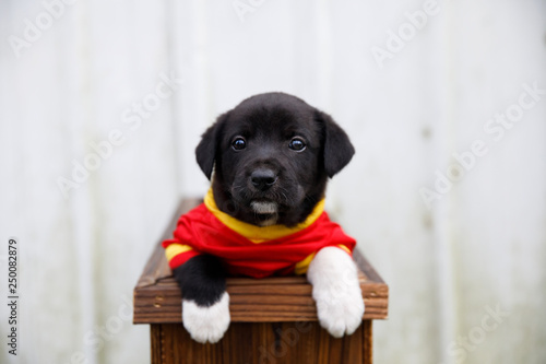 Vászonkép New Border Collie Lab Puppies outside in a Red and Gold Football Jersey