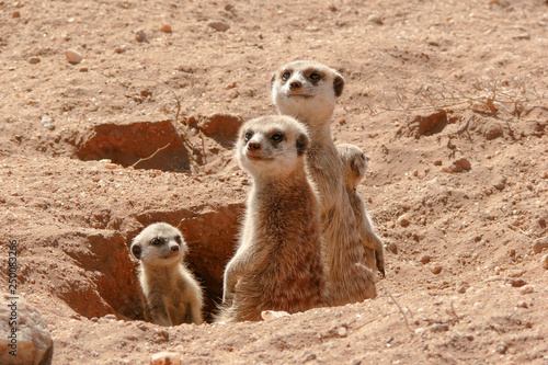 Fotomural suricates with  baby looking out of burrow