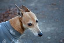 Portrait Of A Lurcher Dog