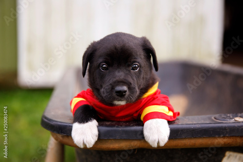 Photo  New Border Collie Lab Puppies outside in a Red and Gold Football Jersey