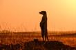 Leinwandbild Motiv suricate outlined against red sunset sky
