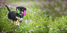 New Border Collie Lab Puppy Outside In A Field Of Purple Flowers