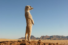 Suricate Upright On Outlook, V...