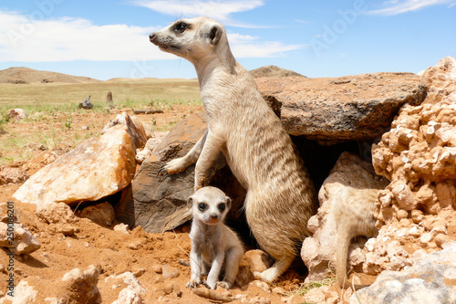 suricate with baby close at burrow, watchful Wallpaper Mural