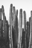 nature poster. cactus. black and white - 250086639