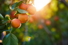 A Bunch Of Ripe Apricots On A Branch At Sunset