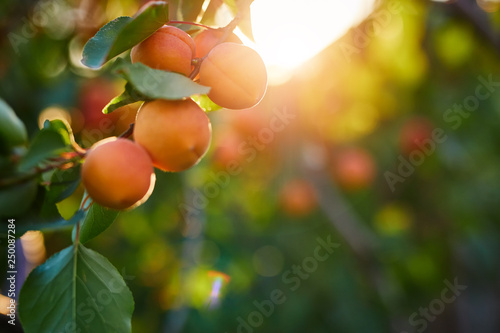 A bunch of ripe apricots on a branch at sunset - 250087284