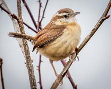 Carolina Wren Bird