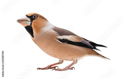 Obraz na plátne Female Hawfinch (Coccothraustes coccothraustes), isolated on white background
