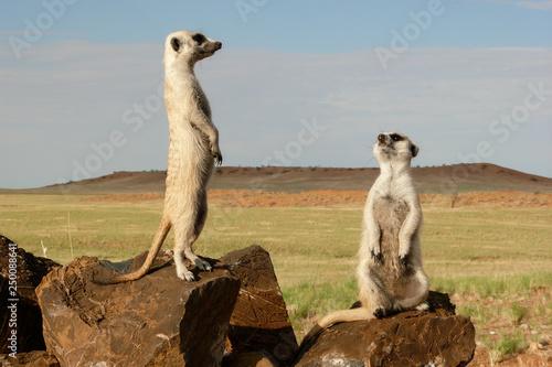 Cuadros en Lienzo suricates on outlook looking watchful