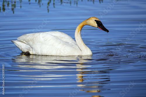 Fotografie, Obraz  Trumpeter swan in Yellowstone National Park, Wyoming