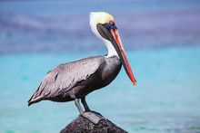 Brown Pelican Sitting On A Roc...