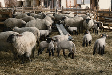 Small Sheep Shed Full Of Baby ...