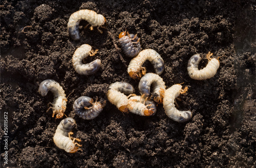 Deurstickers Kruidenierswinkel White chafer grub against the background of the soil. Larva of the May beetle. Agricultural pest.