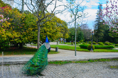 Fotografie, Obraz  Peacock walking in Jardins do Palacio de Cristal, Porto, Portugal