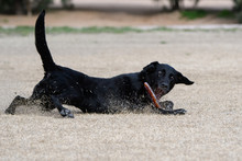 Black Labrador Retriever Slidi...