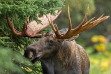 Alaskan Bull Moose During Autu...
