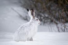 Snowshoe Hare In Winter
