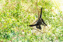 Howler Monkey Eating In Sunlig...