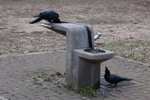 Crows Are Drinking Water